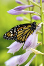 Beautiful monarch butterfly resting on purple flowers of a hostas plant shallow dof Stock Image