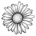 Beautiful monochrome, black and white daisy flower . Royalty Free Stock Photo