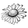 Beautiful monochrome, black and white daisy flower isolated. Royalty Free Stock Photo