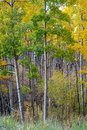 Beautiful Moody Aspen Grove in Autumn, Fall Royalty Free Stock Photos