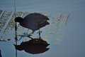 Beautiful moorhen with blue legs walking on a wooden board in the water Stock Photo
