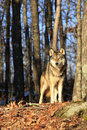 Beautiful morning sunlit timber wolf standing in sunny spot in forest Royalty Free Stock Image