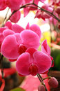 Beautiful moth orchid Royalty Free Stock Images