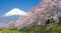 Beautiful Mountain Fuji and sakura cherry blossom Royalty Free Stock Photo