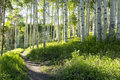 Beautiful mountain hiking trail through aspen trees of vail colorado a summer tree grove on ski resort Stock Image