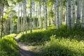 Beautiful Mountain Hiking Trail Through Aspen Trees of Vail Colorado Royalty Free Stock Photo