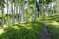 Beautiful mountain hiking trail through aspen trees of vail colorado a summer tree grove on ski resort Royalty Free Stock Photo