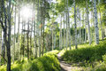 Beautiful mountain hiking trail through aspen trees of vail colorado a summer an tree grove on ski resort Royalty Free Stock Images