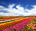 The beautiful multi colored flower fields garden buttercups ranunculus of bright contrast colors blossom picturesque strips Royalty Free Stock Photo