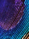 Beautiful multi colored peacock feather close up Royalty Free Stock Photo