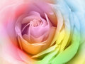 beautiful multicolor rose Royalty Free Stock Photo