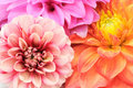 Beautiful Multicolored Dahlias Cloes-up Stock Photo