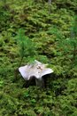 Beautiful mushroom grows among moss and ivy. Autumn. Carpathian Mountains, Ukraine Royalty Free Stock Photo