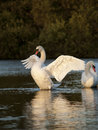 Beautiful mute swans swan cygnus olor stretching his wings in the early morning on a small lake Royalty Free Stock Photos