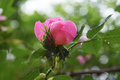 Beautiful natural pink and white roses with water drops Royalty Free Stock Photo