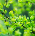 Beautiful nature budding leaves spring Royalty Free Stock Photo