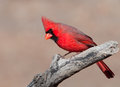 Beautiful Northern Cardinal male Stock Image