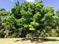 Old Tree,Sat in the middle of the park  Queensland, Australia Royalty Free Stock Photo