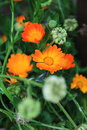 Beautiful orange calendula officinalis flower Stock Photography