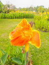 Beautiful orange canna flower in the park Royalty Free Stock Image