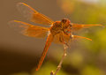 A Beautiful Orange Dragonfly Smiles for the Camera Royalty Free Stock Photo