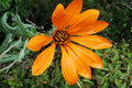 Beautiful orange flower Royalty Free Stock Photo