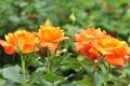 Beautiful Orange Roses Flowers Royalty Free Stock Photo