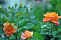 Beautiful Orange Roses Flowers Over Nature Royalty Free Stock Photo