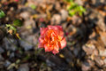 Beautiful orange roses in rose garden Royalty Free Stock Photo