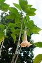 Beautiful orange tropical single flower Garden Angel`s Trumpet Brugmansia × candida Royalty Free Stock Photo