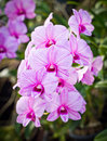 Beautiful orchid flower in farm thailand Royalty Free Stock Photography