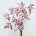 Beautiful orchid full bloom Stock Photo