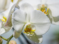 Beautiful orchid phalaenopsis spring flowers series against natural green background in greenhouse Stock Images