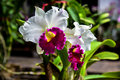Beautiful orchid in plant nursery Royalty Free Stock Photo