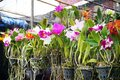 Beautiful orchids flower plant hang in the garden ,Orchid nursery farm, selective focus Royalty Free Stock Photo