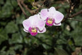 Beautiful orchids in garden Royalty Free Stock Photo