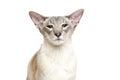 Beautiful oriental siam cat Royalty Free Stock Photo