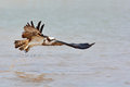 Beautiful Osprey bird