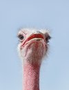 Beautiful ostrich staring at camera is large flightless bird native to africa it has fastest land speed than any other bird Stock Photos