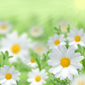 Beautiful ox-eye daisy Royalty Free Stock Image