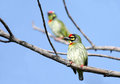 Beautiful pair of coppersmith barbet birds perched on tree the also called as crimson breasted and is a bird with crimson forehead Stock Images