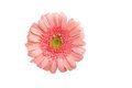 Beautiful pale pink gerbera daisy on white Stock Photo