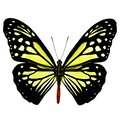 Beautiful pale yellow butterfly, Chocolate Tiger Parantica mela Royalty Free Stock Photo