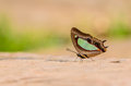 Beautiful Pallid Nawab butterfly eat mineral in nature Royalty Free Stock Photo