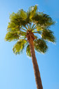 Beautiful palm tree against a blue sky Royalty Free Stock Photo