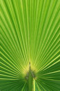 Beautiful Palm Tree Leaf texture Royalty Free Stock Photo