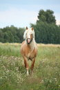Beautiful palomino draught horse walking at the field Stock Images