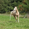 Beautiful palomino horse running on pasturage in autumn Royalty Free Stock Photo
