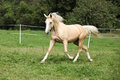 Beautiful palomino horse running on pasturage in autumn Stock Photos
