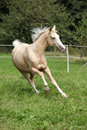 Beautiful palomino horse running on pasturage in autumn Royalty Free Stock Images